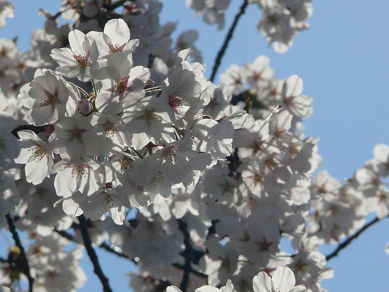 新潟市内の桜(その2)