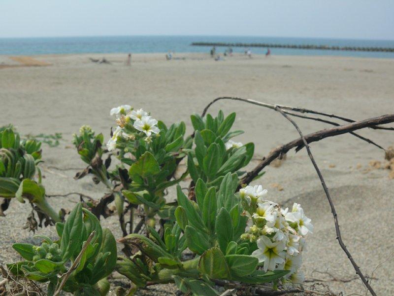 新潟海岸の花