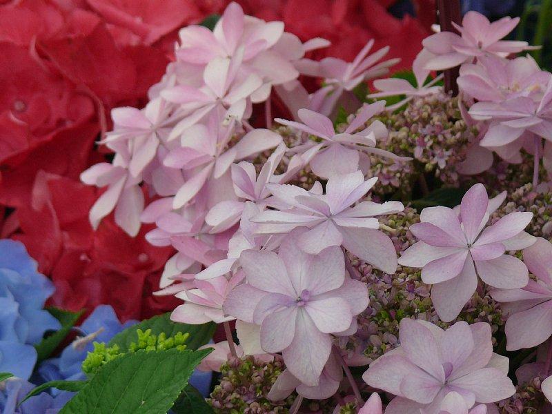 紫陽花いっぱい